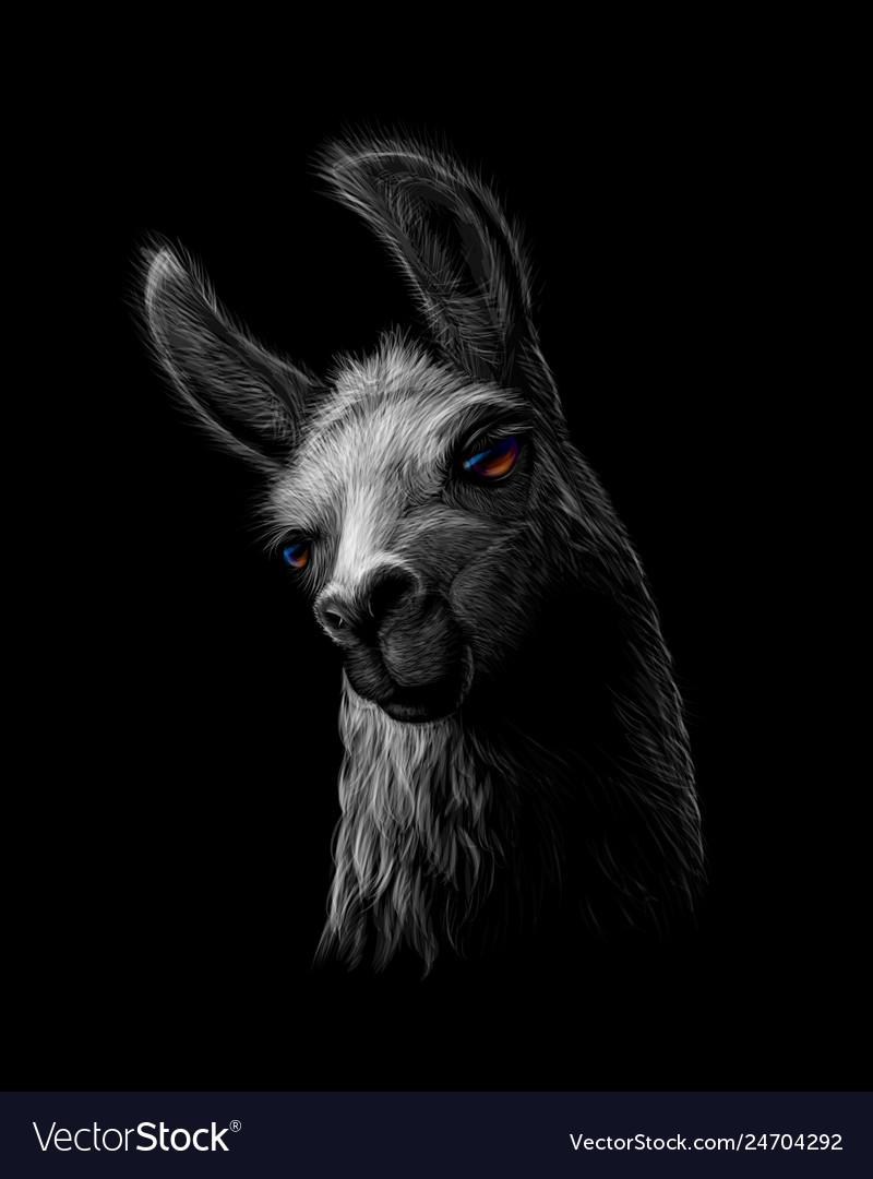 Portrait of a head of a llama on a black