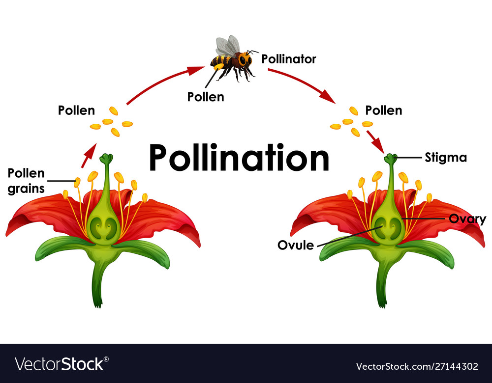 Diagram Showing Pollination With Flower And Bee Vector Image