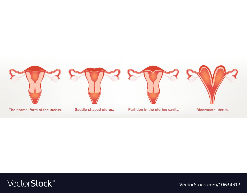 The shape of the uterus the female reproductive Vector Image