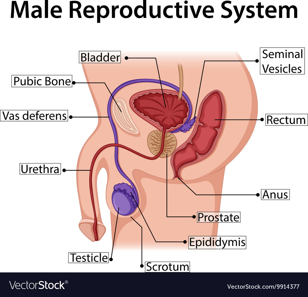 Reproductive System Diagram Schematics Wiring Diagrams