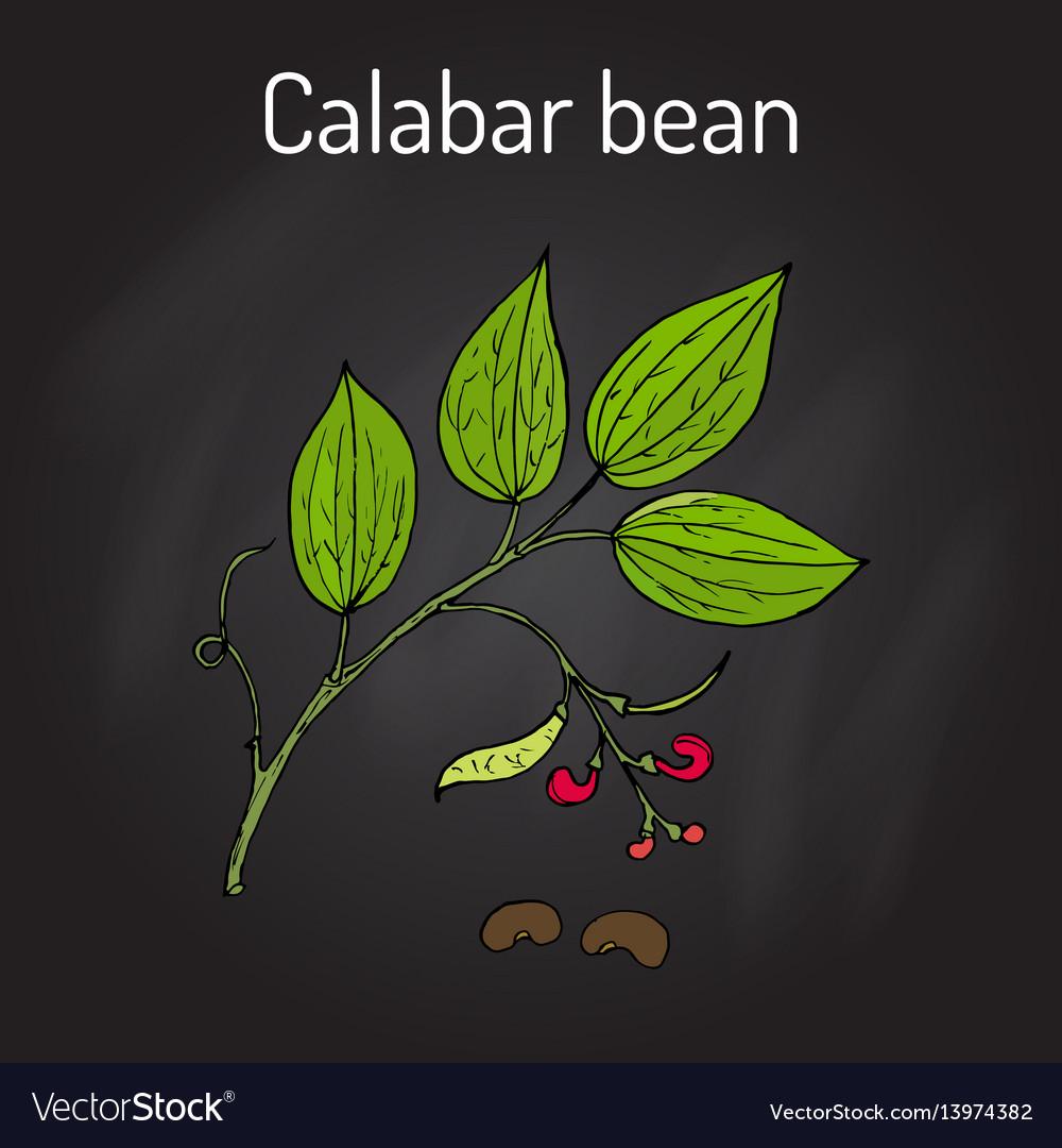 Calabar bean physostigma venenosum medicinal vector image
