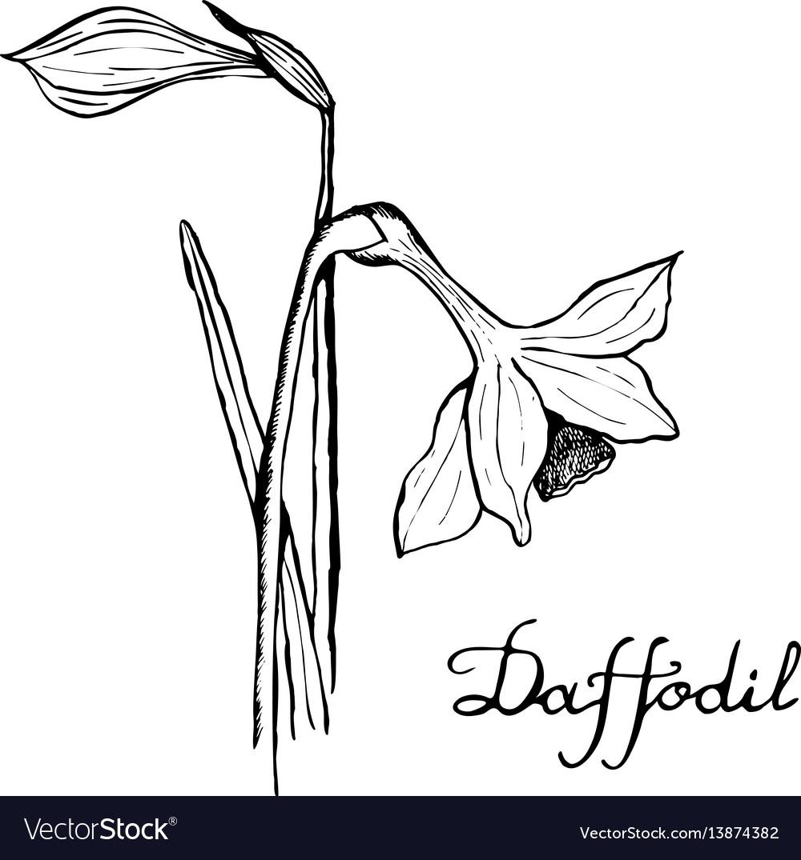 Daffodil botany vector image