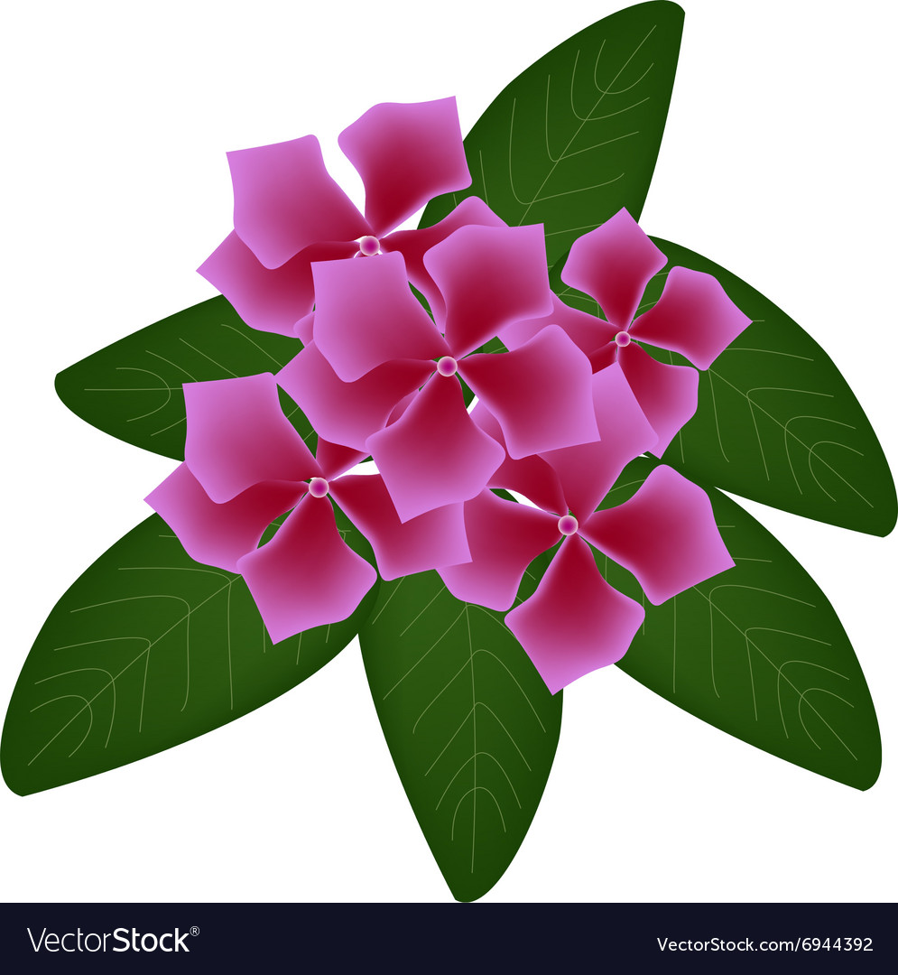 Cape Periwinkle Flowers Or Madagascar Periwinkle Vector Image