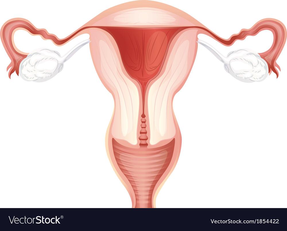 Charmant Bild Eines Uterus Bilder - Menschliche Anatomie Bilder ...