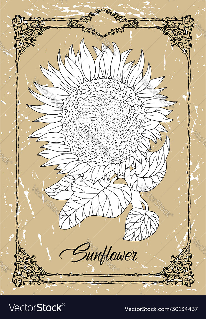 Drawing sunflower