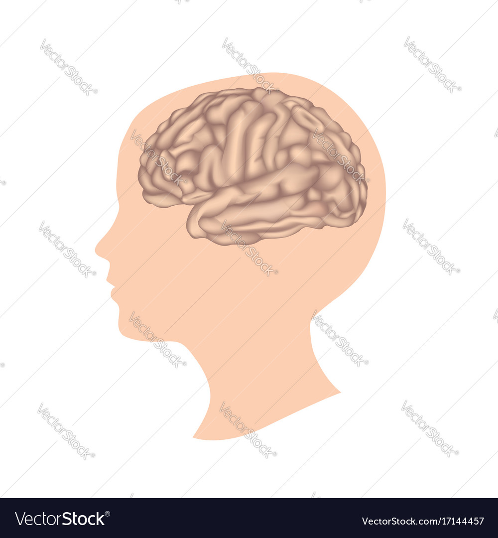 Human brain child head anatomy Royalty Free Vector Image