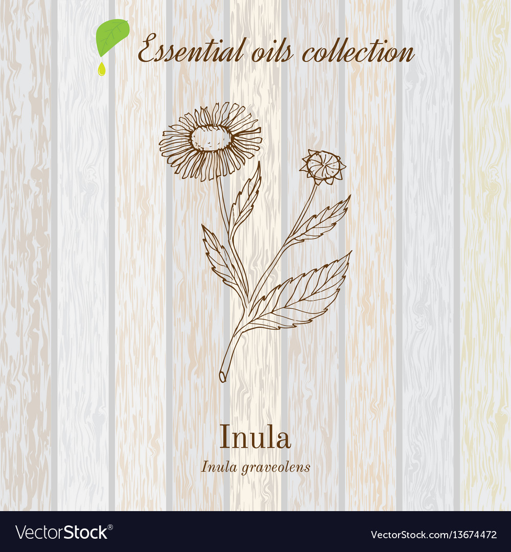 Inula essential oil label aromatic plant