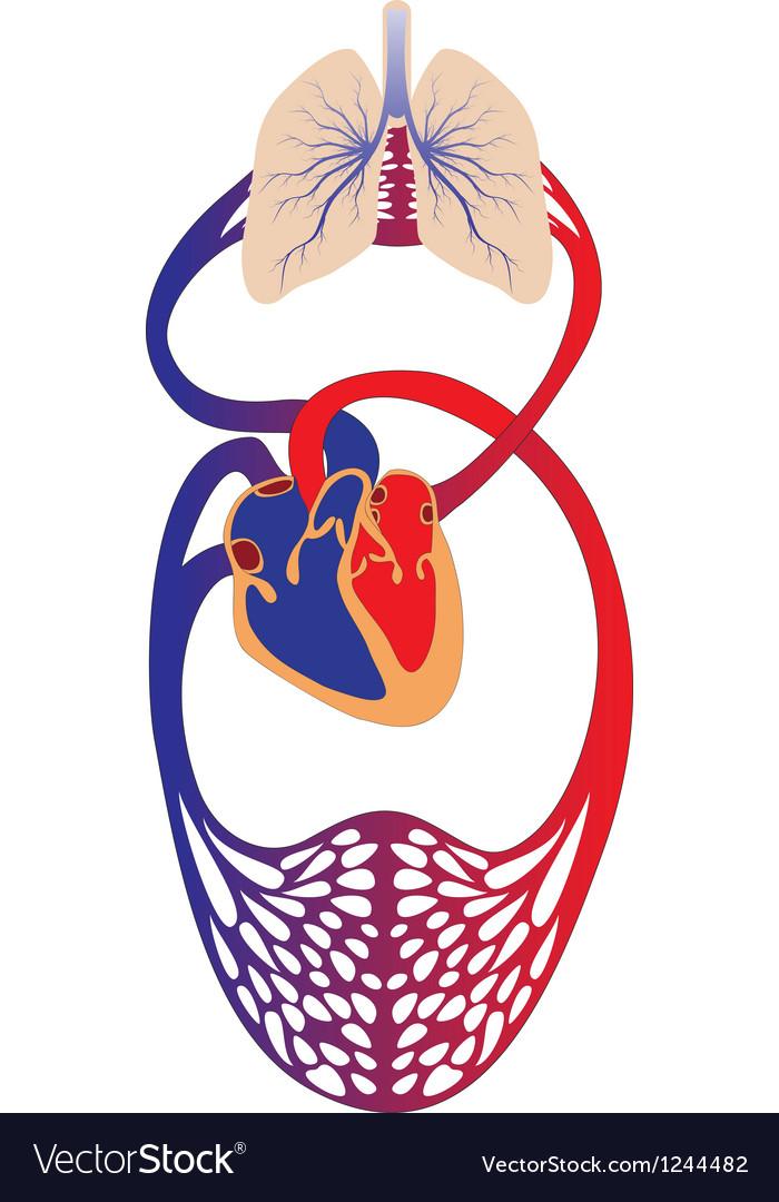Blood circulation system of human