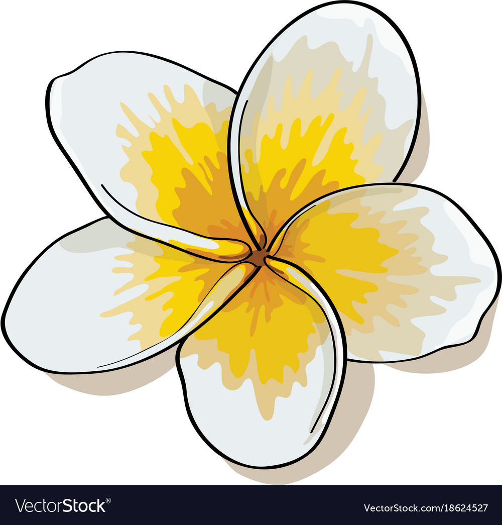 Tropical Flowers Plumeria Isolated On White Vector Image