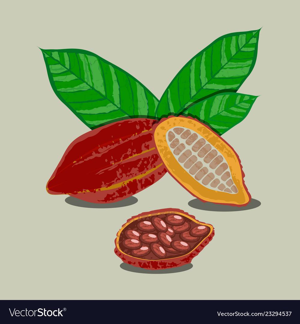 Cocoa fruits and leaves whole fruit cut cocoa