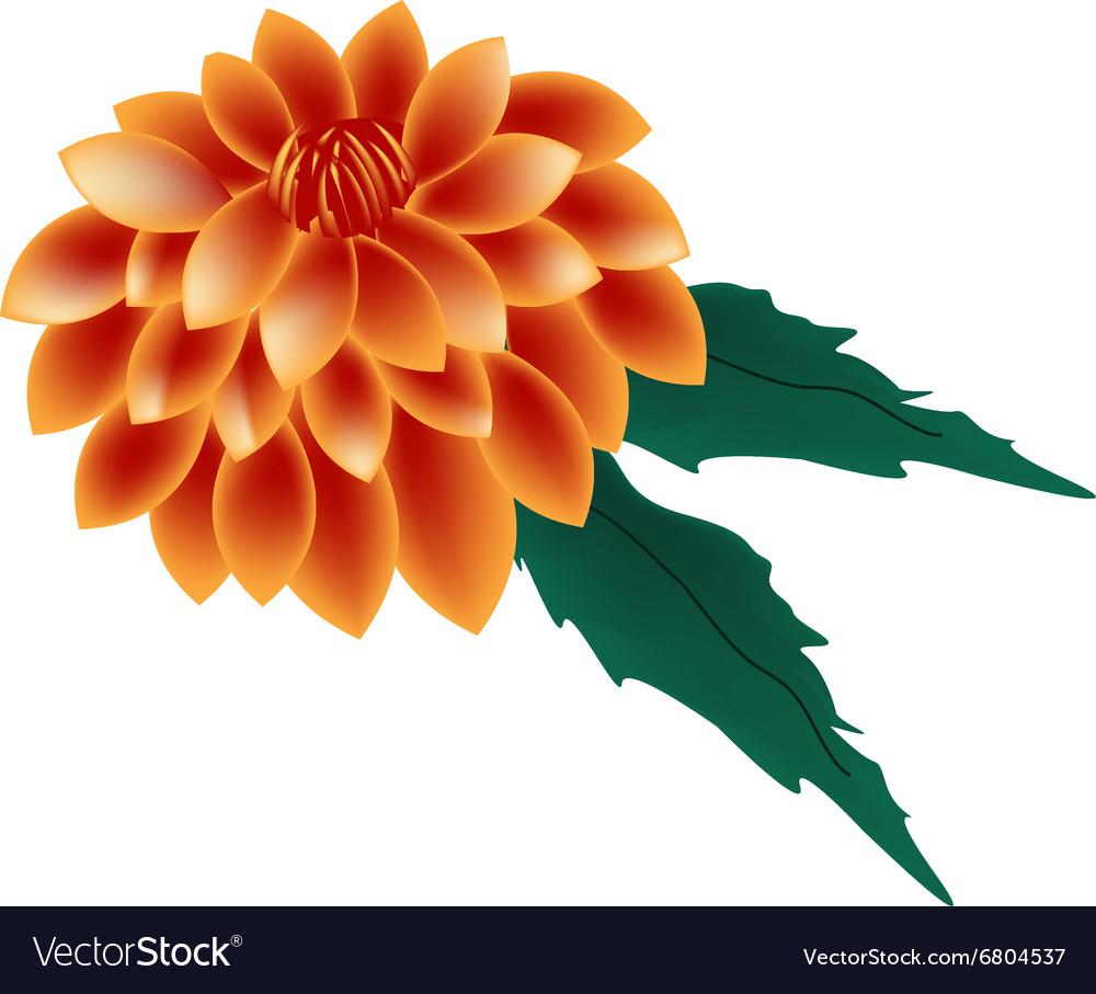 Orange Dahlia Flower On A White Background Vector Image