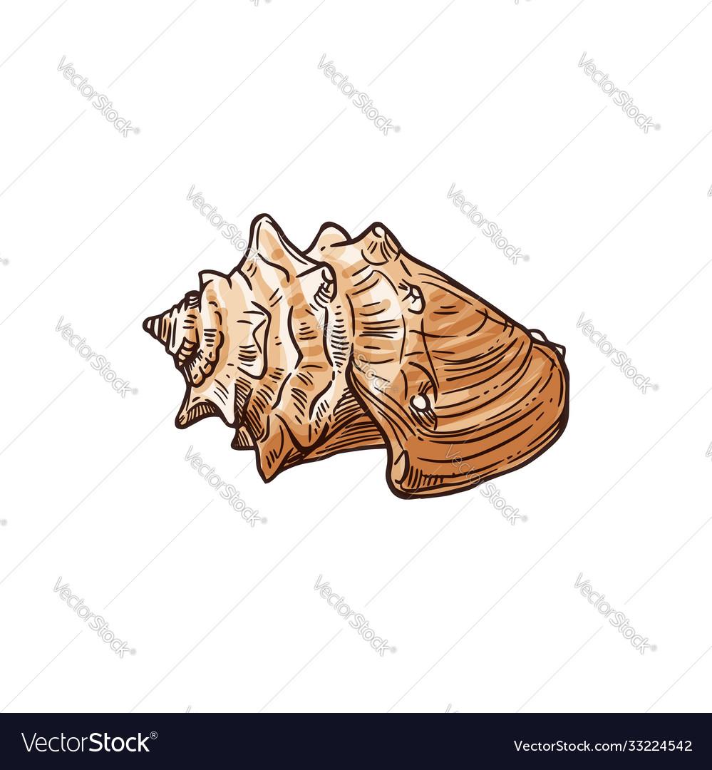 Strombus alatus isolated florida fighting conch