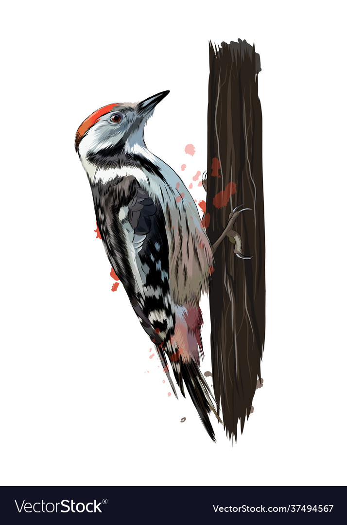 Woodpecker from a splash watercolor colored