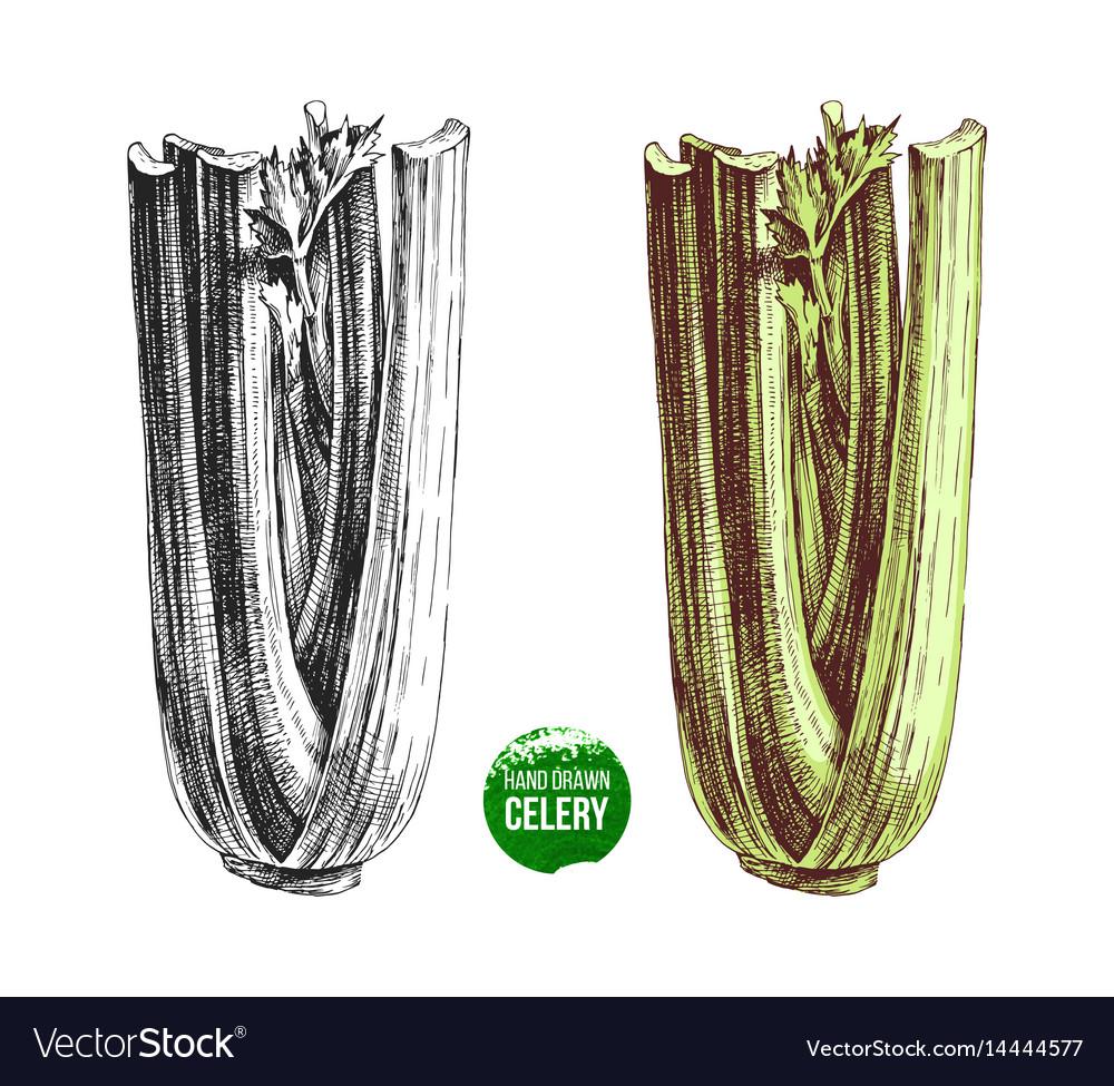 Hand drawn celery vector image