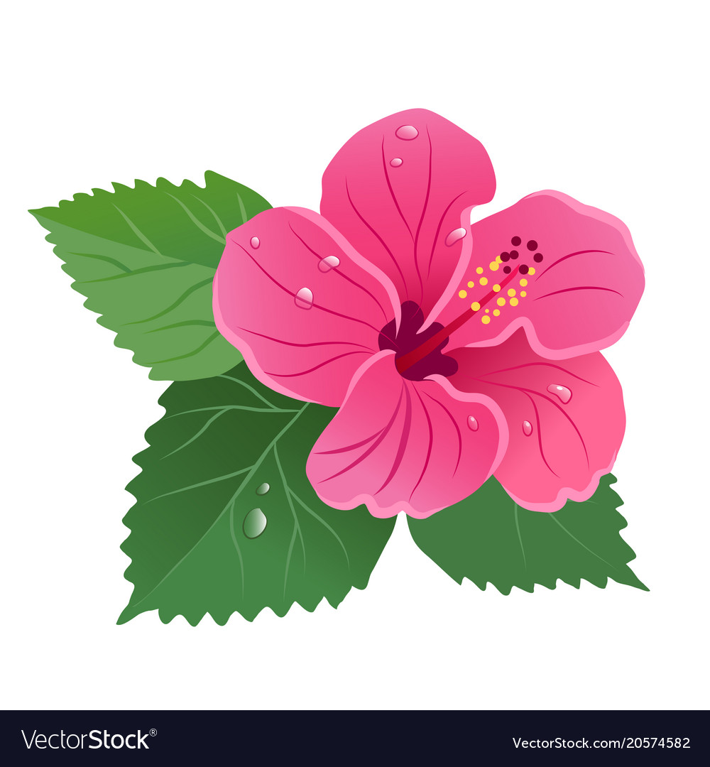 Hibiscus Flower Bloom With Green Leaves Dew Drops Vector Image