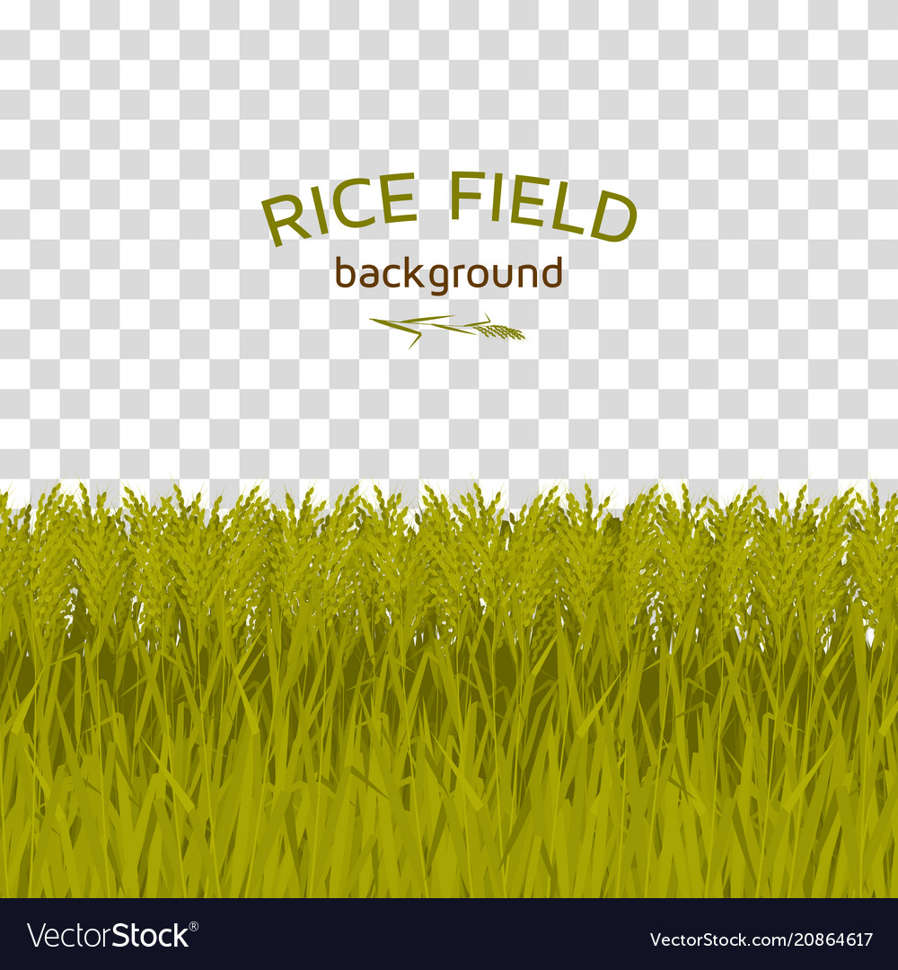 Green rice field on checkered background