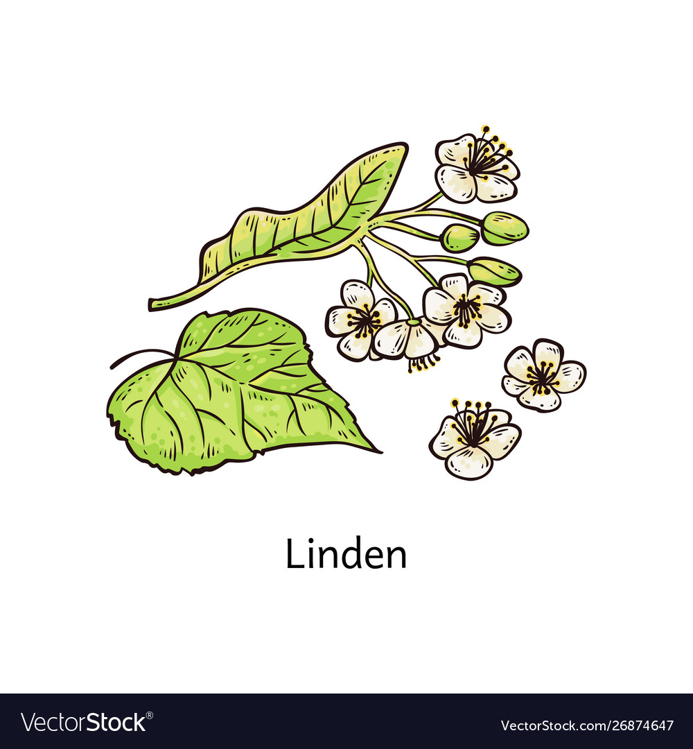 Natural linden sprig with leaves and flowers