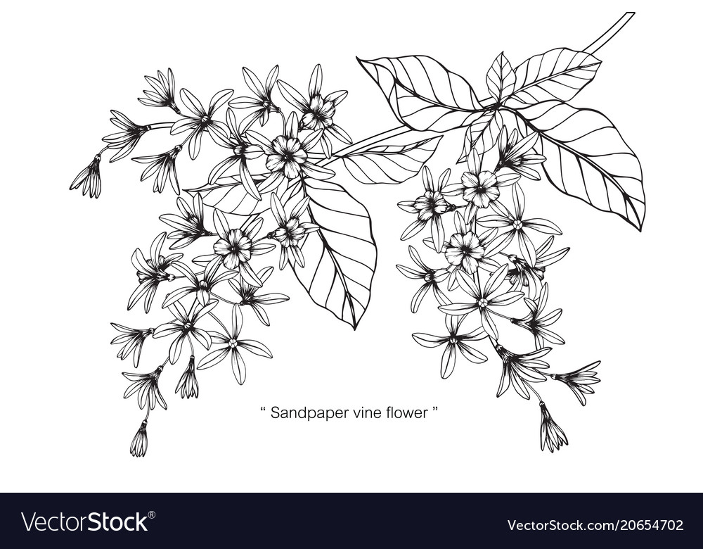 Sandpaper vine flower drawing