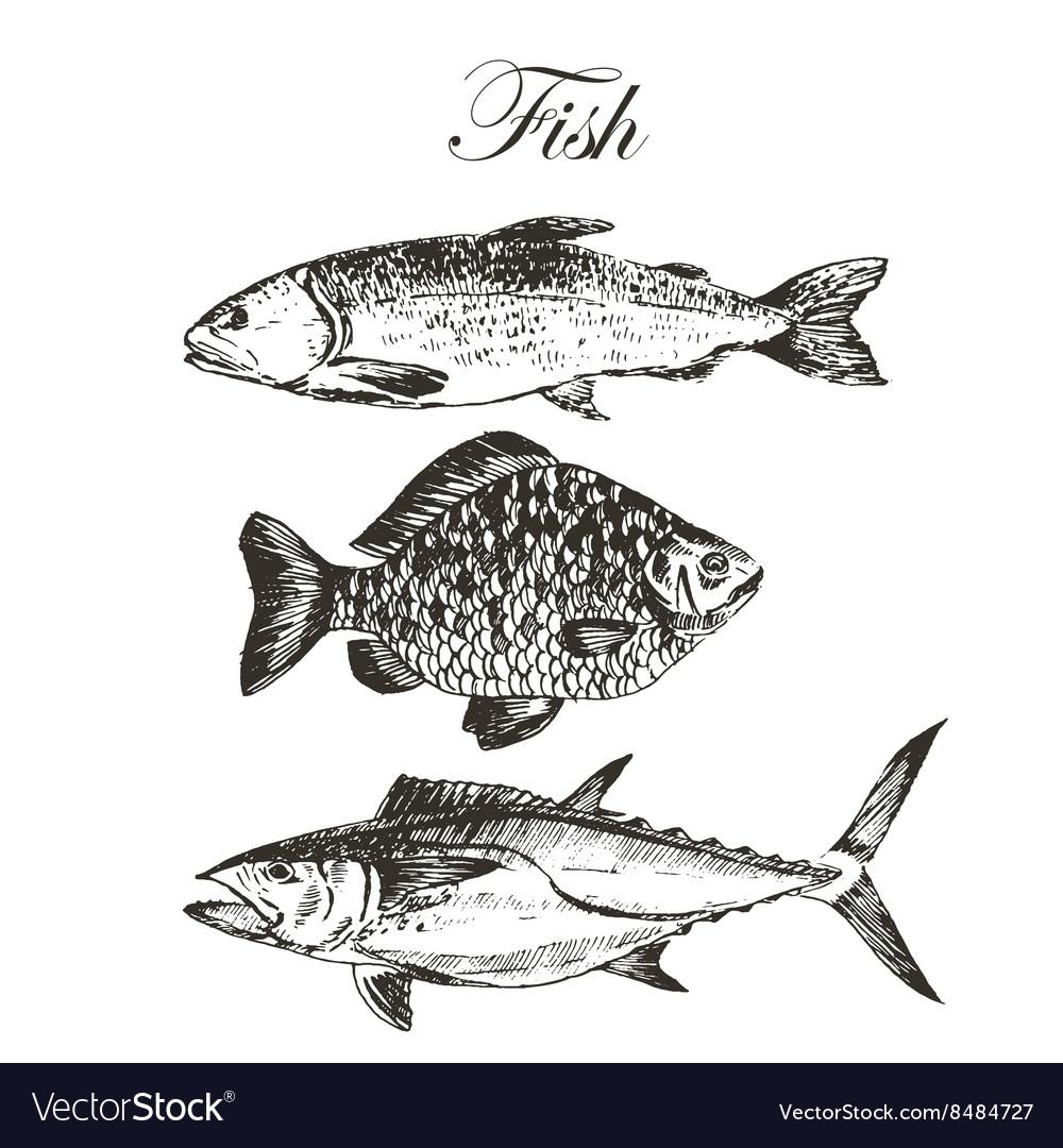 fish sketch drawing salmon trout carp royalty free vector