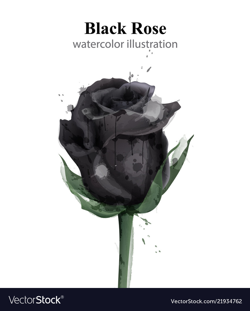 573739be5 Black roses watercolor isolated stylish Royalty Free Vector