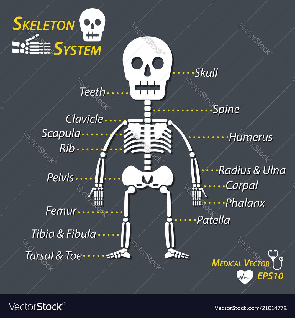 Human skeleton and all name of bone