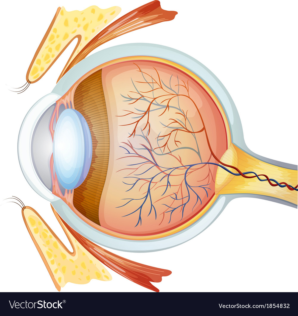 human eye cross section royalty free vector image