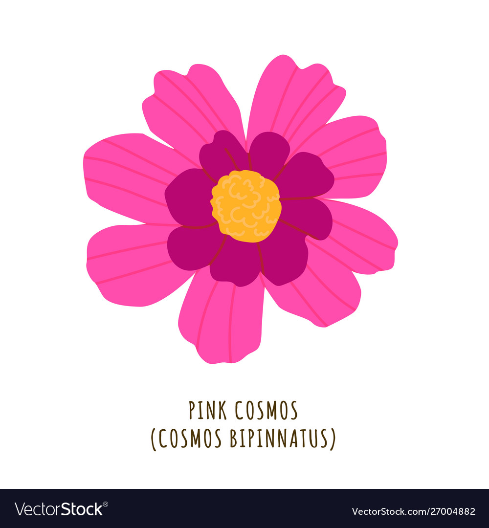 Pink cosmos tropical flower