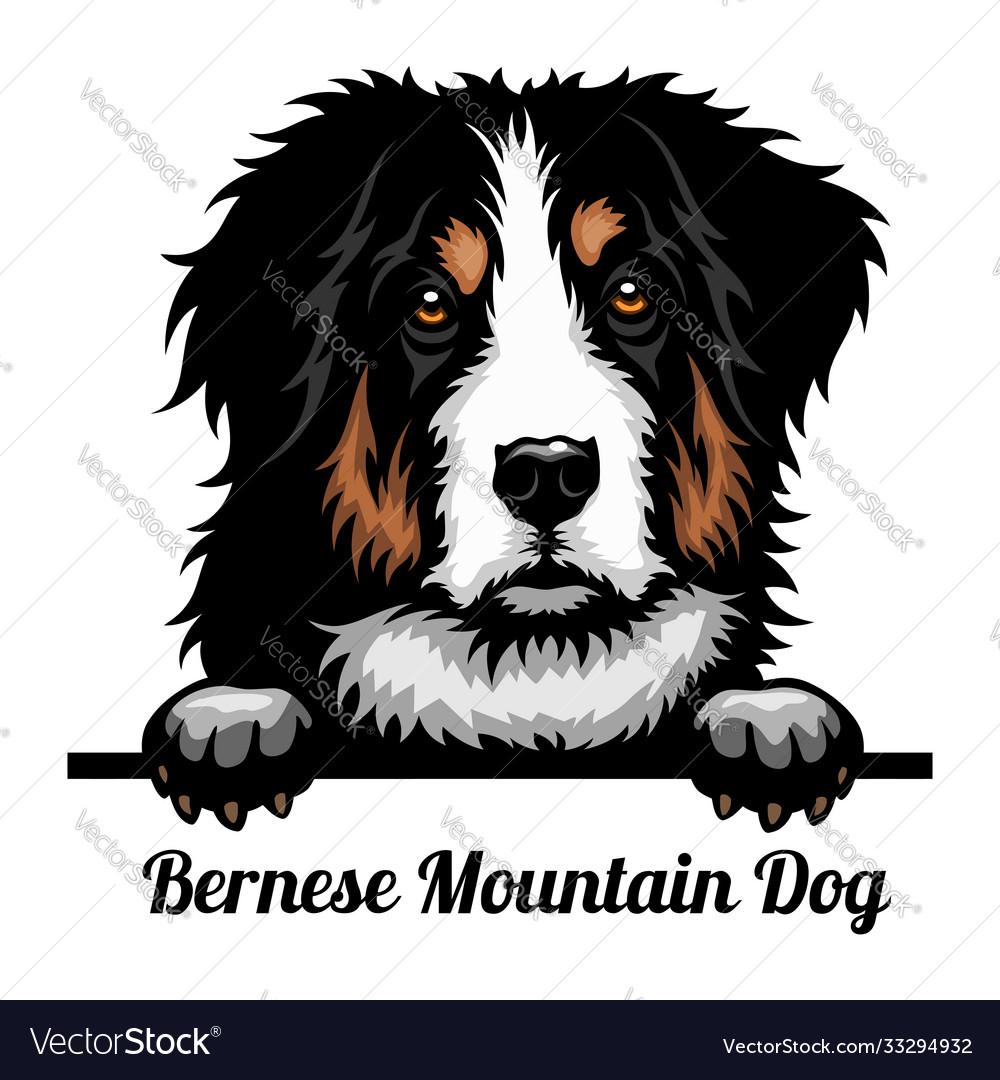 Bernese mountain dog - color peeking dogs - breed