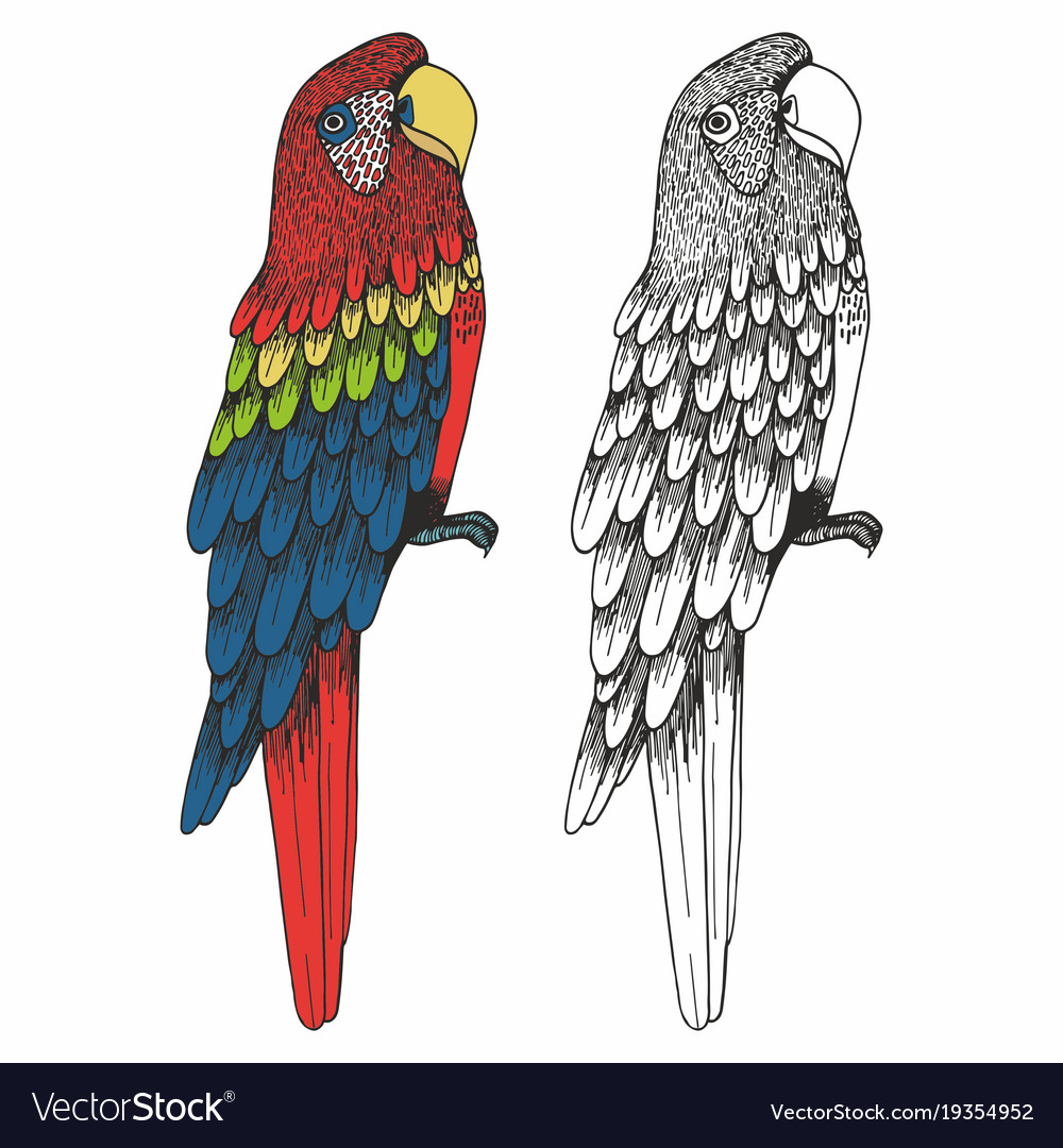 A parrot hand drawing vector image