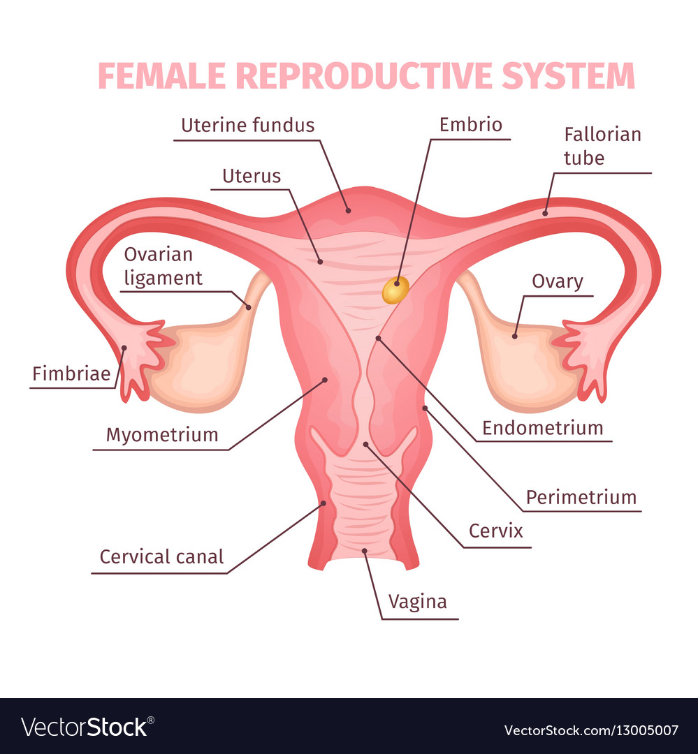 Vector Female Reproductive System Diagram House Wiring Diagram