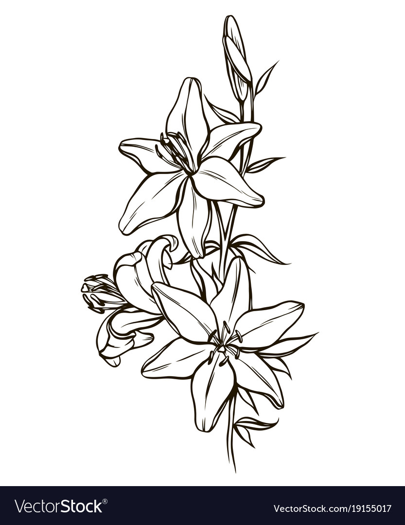 Lily Flowers Black And White Royalty Free Vector Image