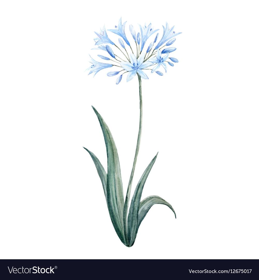 Watercolor agapanthus blue flower