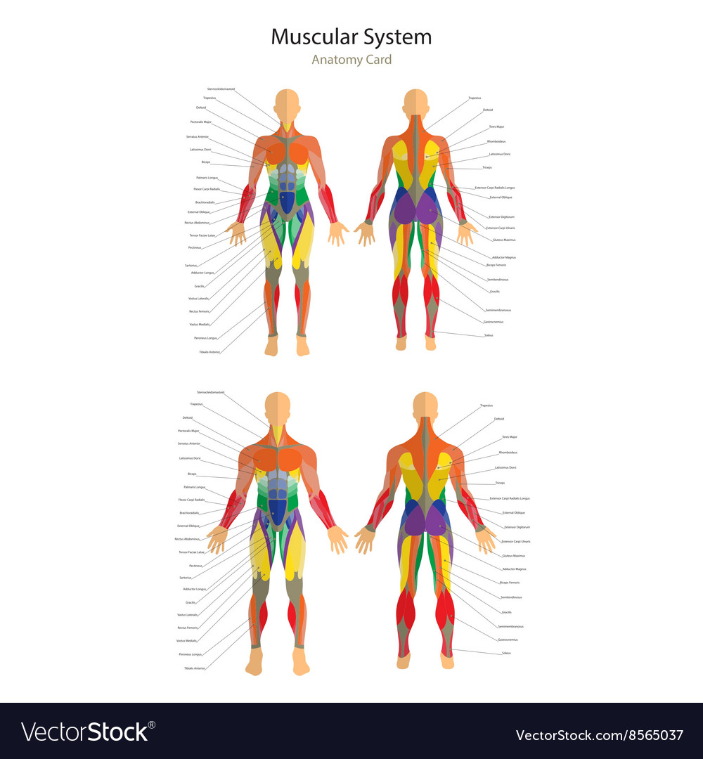 Human Muscles Female And Male Royalty Free Vector Image