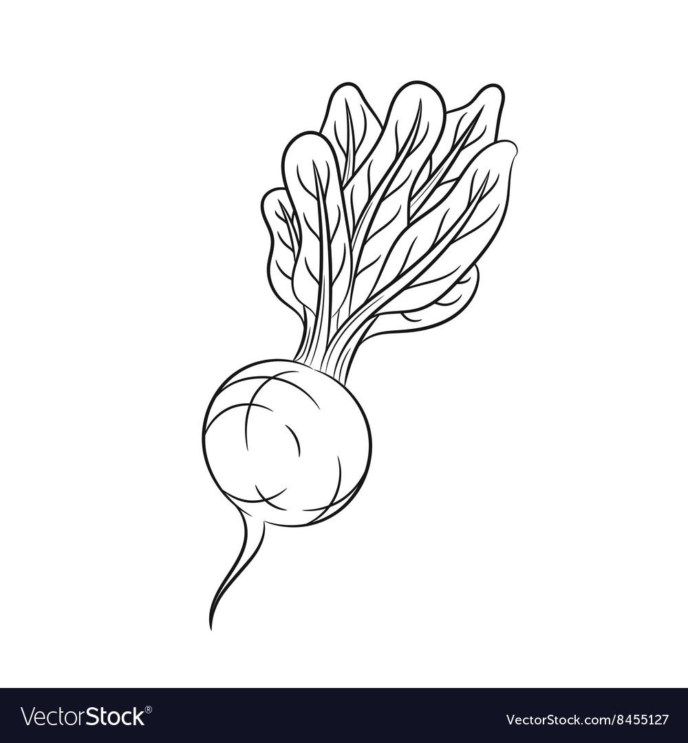 Hand drawn radish sketches on white background