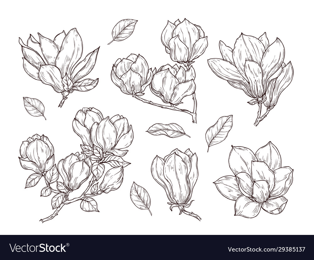 Magnolia flowers sketch drawing botanical spring vector