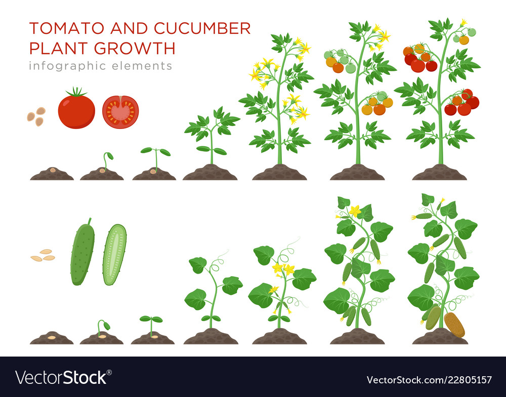 Tomato and cucumber plants growth stages