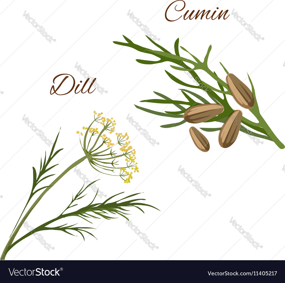 Dill cumin spice herbs isolated icons