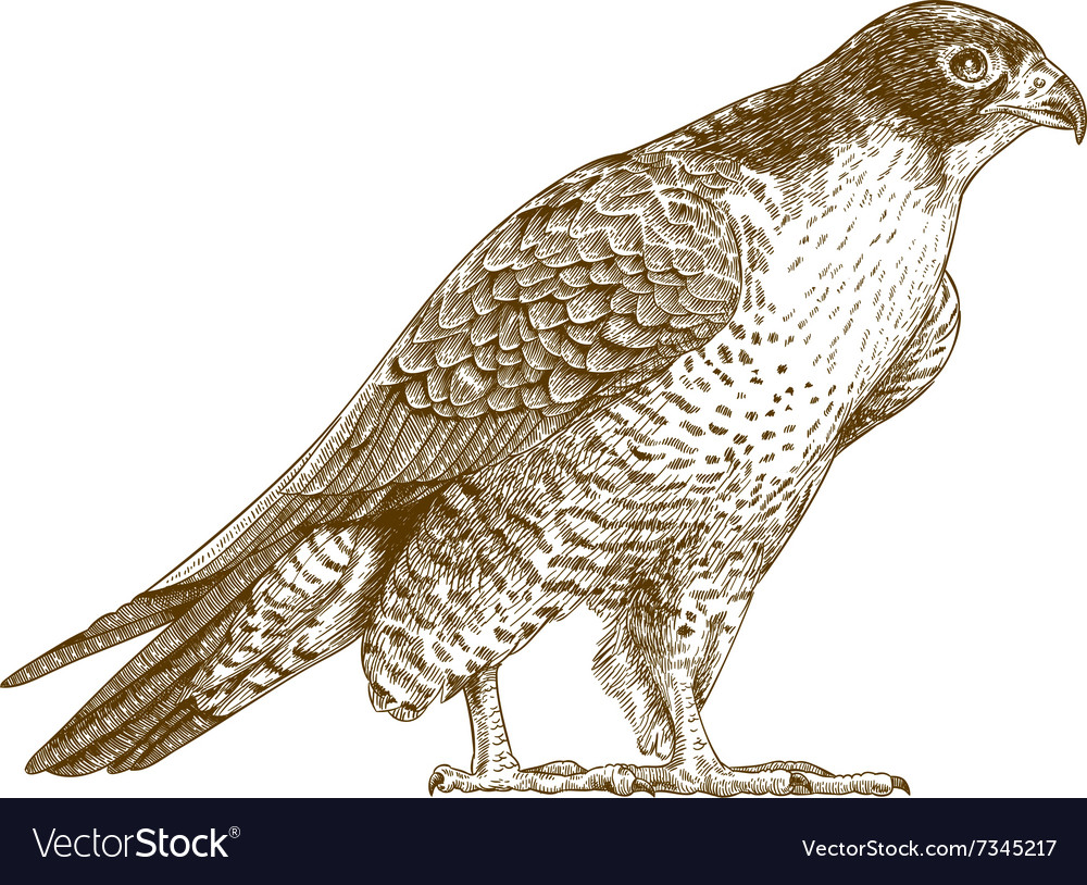 Engraving falcon
