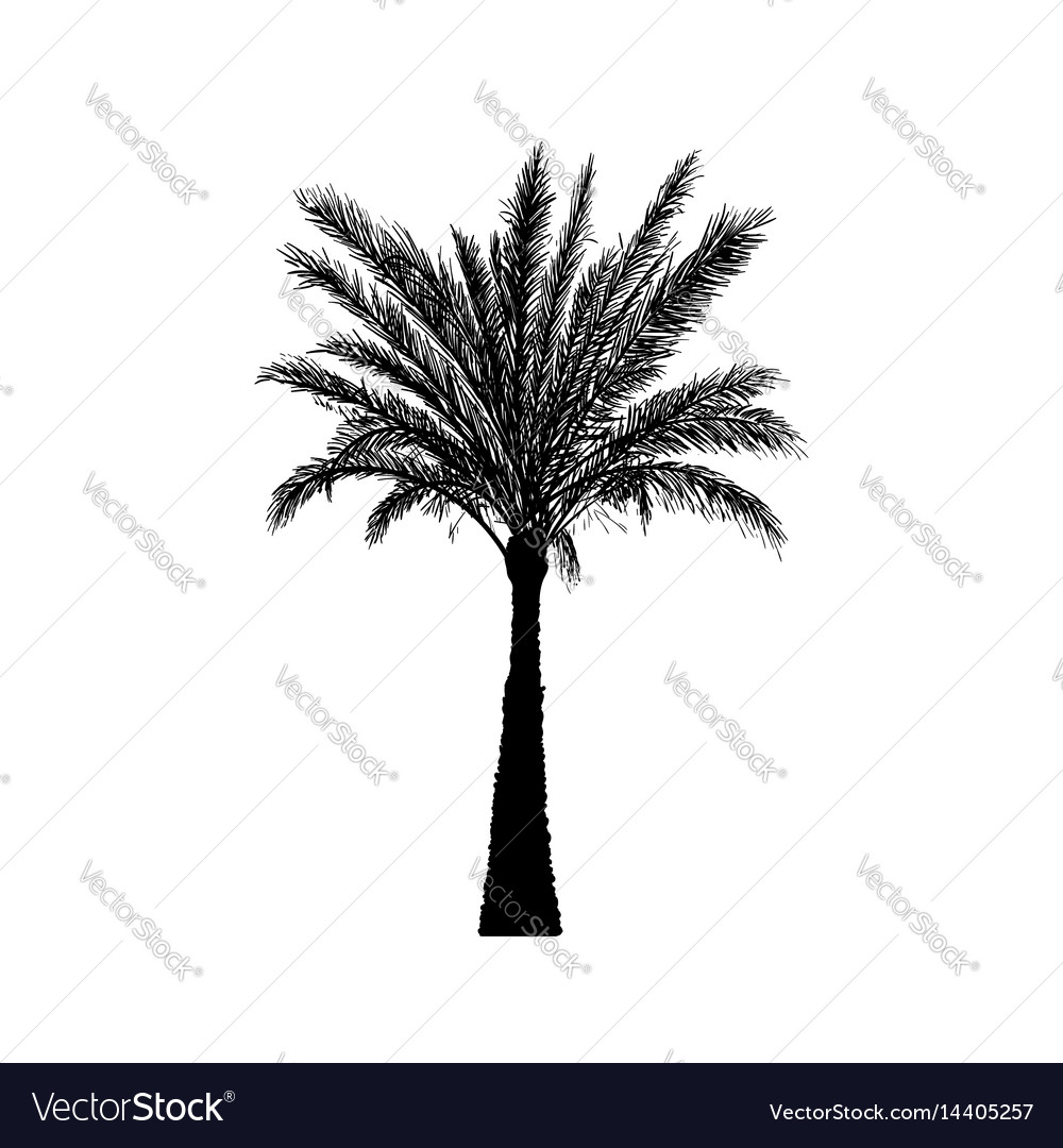 Sketch palm tree hand drawn silhouette date palm vector image