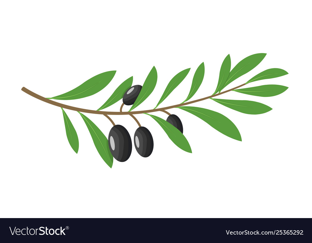 Olive branch tree isolated leaf olive food green
