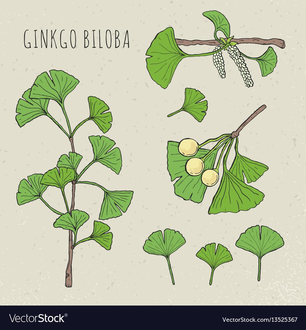 Collection ginkgo biloba vector image