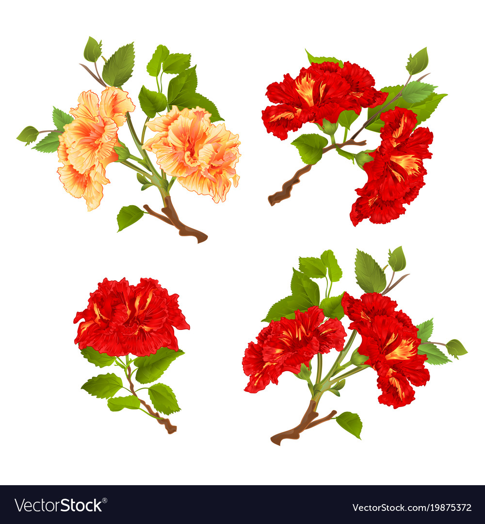Branches Yellow And Red Hibiscus Tropical Flowers Vector Image