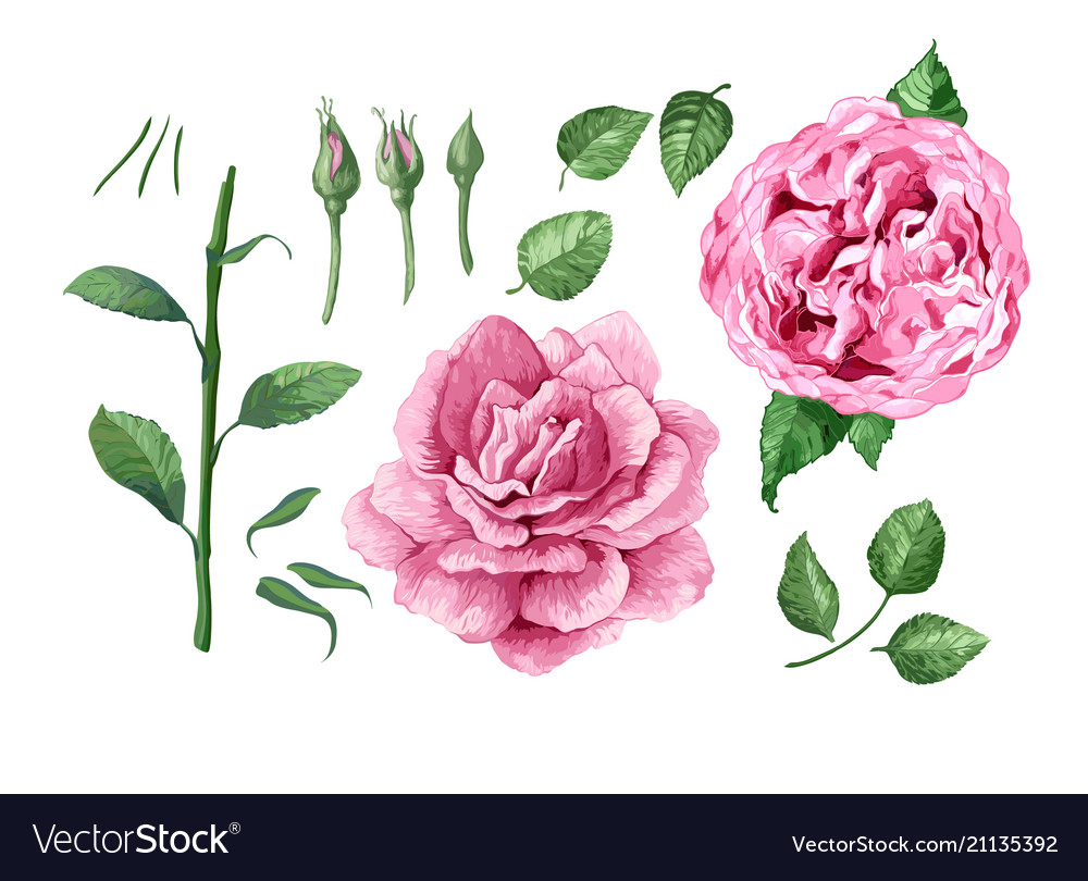 Set collection of rose flowers petals and leaves