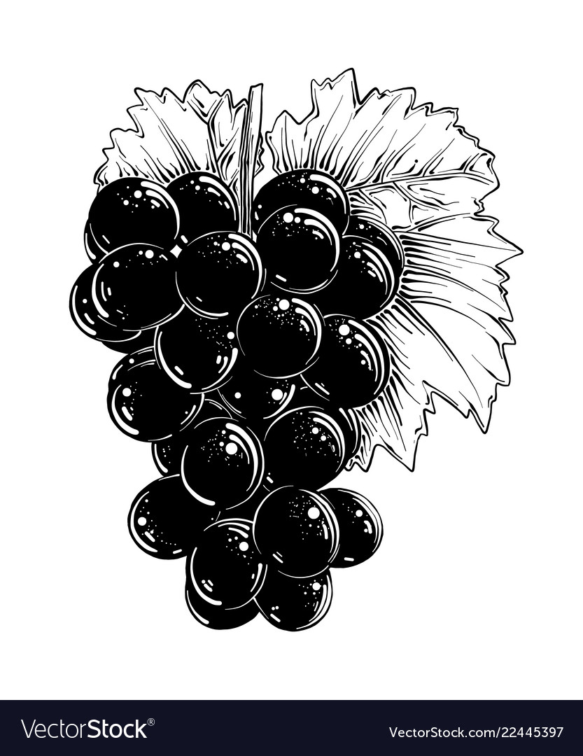 Hand drawn sketch of grapes in black isolated on