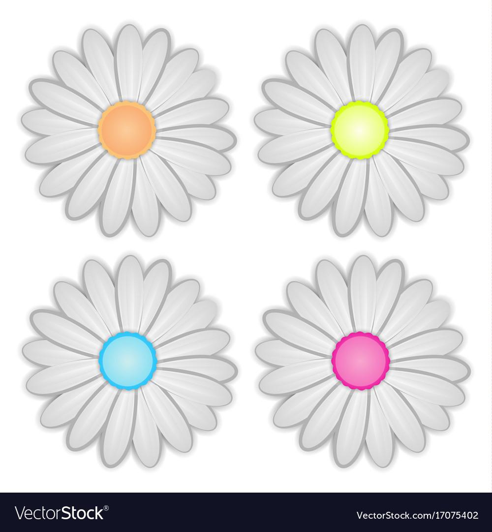White daisy flower on background