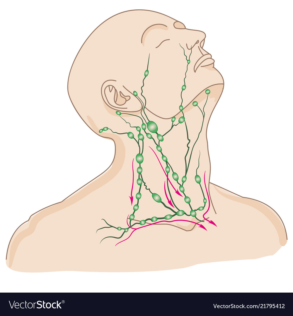Lymph Nodes Of Head And Neck Royalty Free Vector Image