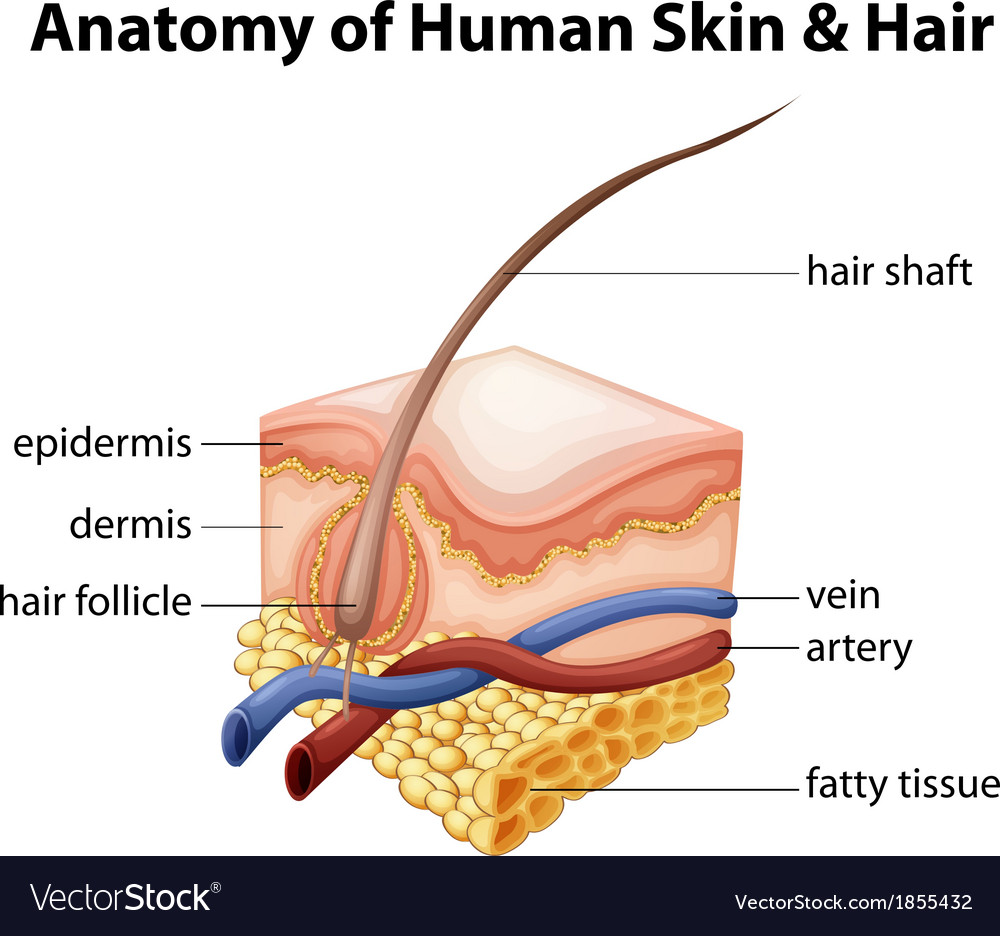 Anatomy of Human Skin and Hair Royalty Free Vector Image