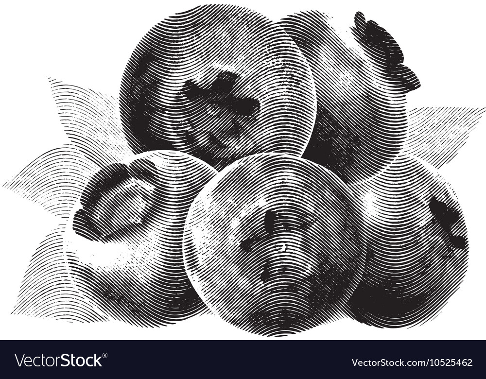 Blueberries drawn sketch with green leaves on vector image