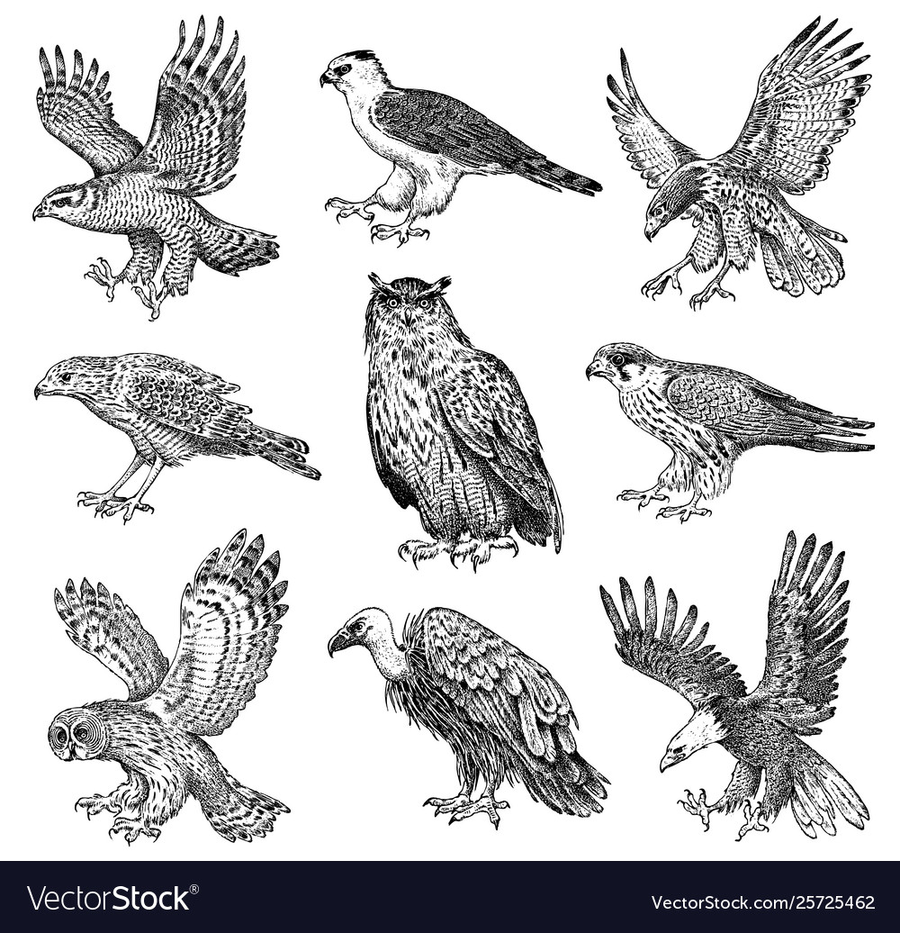 Set realistic birds goshawk griffon vulture