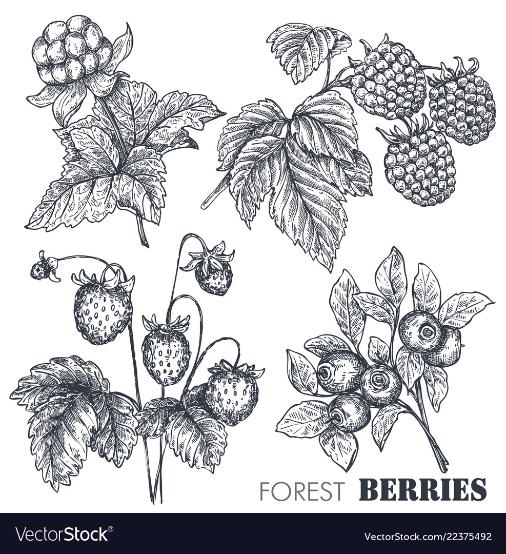 Collection of hand drawn sketched berries